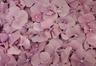 Hydrangea Petals Lilac