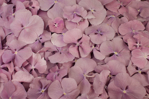 Product box freeze dried hydrangea petals  lilac