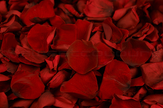 Konservierte Rosenblätter Dunkelrot