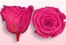 Geconserveerde rozen Donkerroze