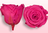 Preserved roses Dark pink