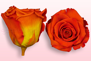 Product box rose amor  preserved roses  orange yellow