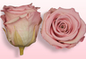 Preserved roses Light pink-white