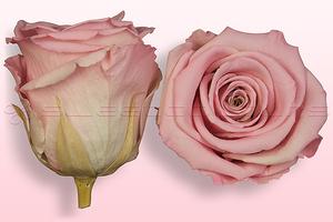 Roses conservées Rose pâle-blanc