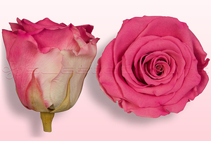 Product box rose amor  preserved roses  dark pink white