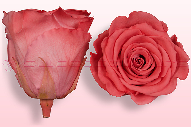 Preserved roses Salmon pink-white