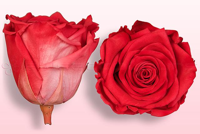Preserved roses Fuchsia-white