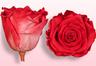 Konservierte Rosen Fuchsien-Weiß