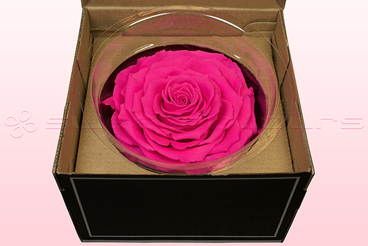 1 Preserved Rose, Dark Pink, Size XXL