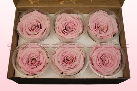 6 Preserved Rose Heads, Light Pink-White, Size XL