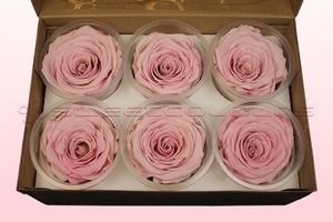 6 konservierte Rosenköpfe, Hellrosa-Weiß, Größe XL
