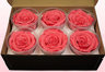 6 Preserved Rose Heads, Salmon Pink-White, Size XL