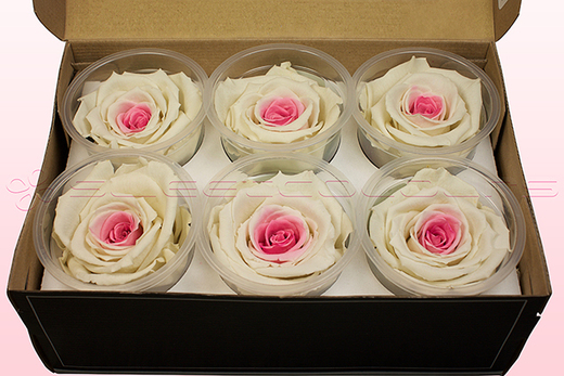 6 Preserved Rose Heads, White-Pink, Size XL