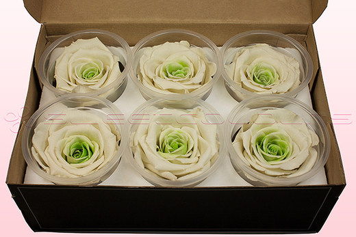 6 Preserved Rose Heads, White-Green, Size XL