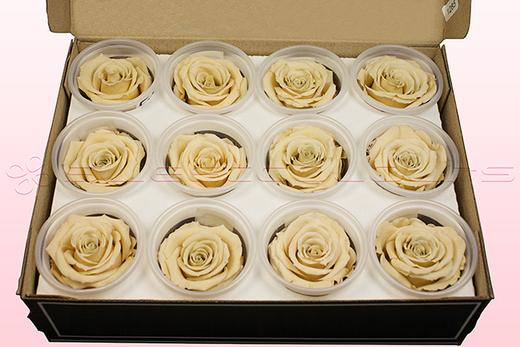 12 Têtes De Roses Conservées, Champagne, Taille M