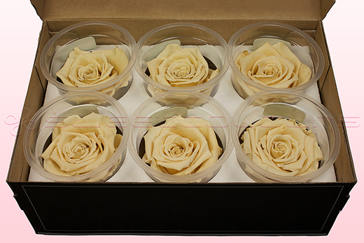 6 Preserved Rose Heads, Champagne, Size L