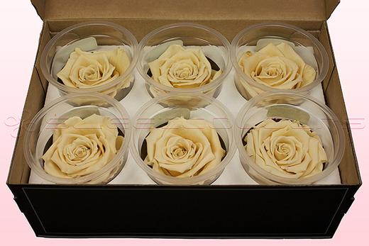 6 konservierte Rosenköpfe, Champagne, Größe L