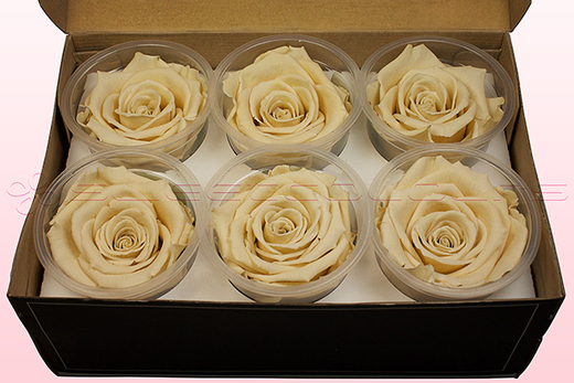 Preserved Rose Heads, Champagne , Size XL