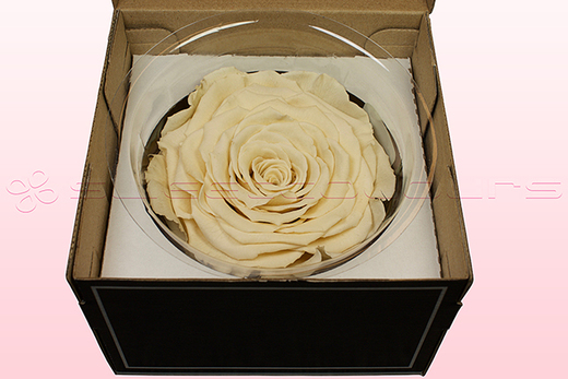 1 Preserved Rose, Champagne, Size XXL