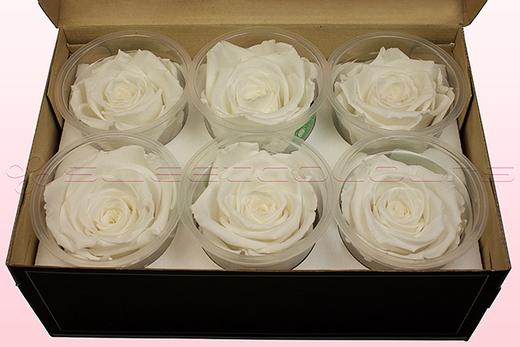 6 Geconserveerde Rozenkoppen, Wit, Maat XL