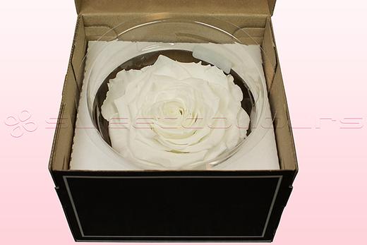 1 Geconserveerde Roos, Wit, Maat XXL