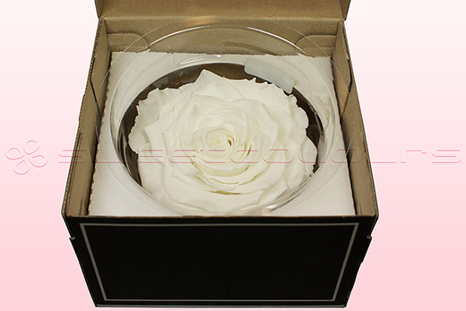 1 Rosa Preservada, Blanco, Tamaño XXL