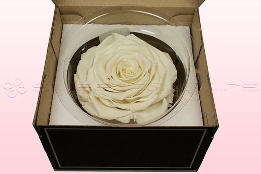 1 Preserved Rose, Off White, Size XXL