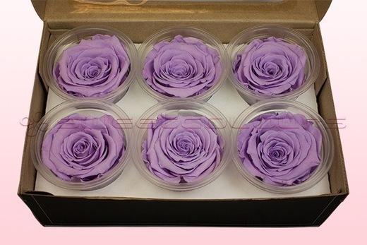 6 konservierte Rosenköpfe, Lavendel Pastell, Größe XL