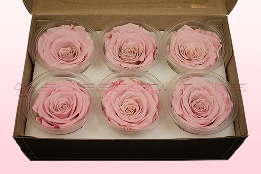 6 Preserved Rose Heads, Light Pink-White, Size L