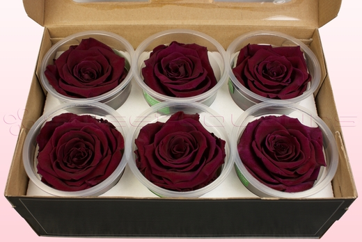 6 Preserved Rose Heads, Wine, Size XL