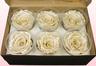 6 Geconserveerde Rozenkoppen, Satin champagne, Maat XL