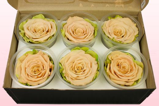 6 Rose Stabilizzate, Sabbia, Taglia XL